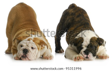 two playful puppies - english bulldogs with their bums in the air - stock photo