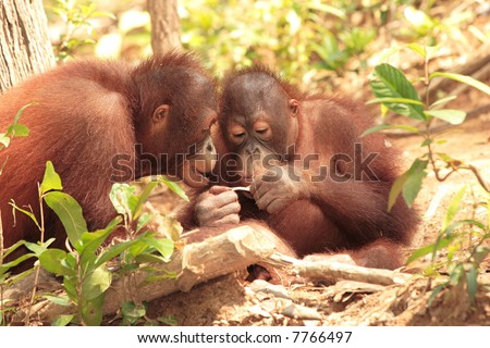 Two playful young Orang-Utan - stock photo