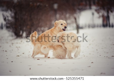 Two playing golden retrievers in winter day
