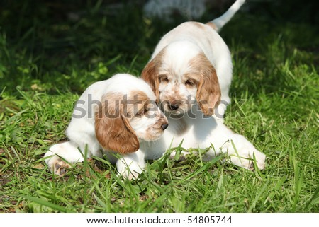 Two playing puppies of english cocker spaniel