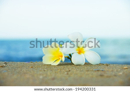 two plumeria flowers on the sand on the beach