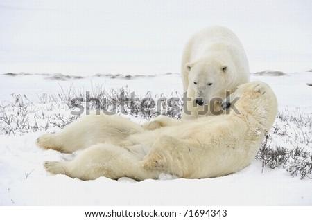Two polar bears have a rest. Polar bears have a rest, lying on snow. - stock photo