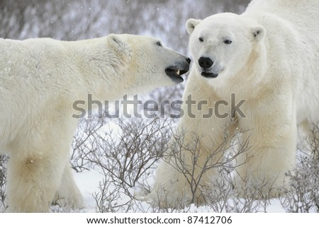 Two polar bears meeting on snow-covered tundra. - stock photo