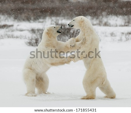 Two polar bears play fighting. Polar bears fighting on snow have got up on hinder legs.  - stock photo