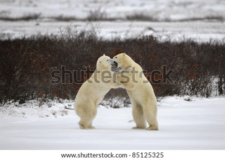 Two polar bears playfighting Hudson Bay Churchill Manitoba Canada - stock photo