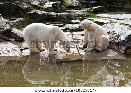 Two polar bears playing in the spring - stock photo
