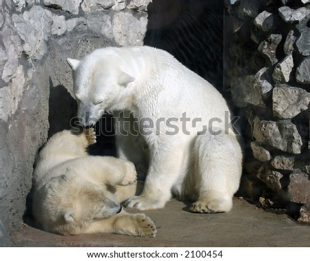 Two polar bears playing on the rock - stock photo