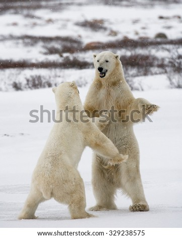Two polar bears playing with each other in the tundra. Canada. An excellent illustration.