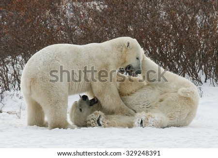 Two polar bears playing with each other in the tundra. Canada. An excellent illustration. - stock photo