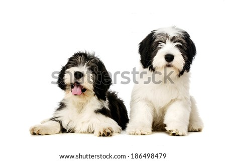 Two Polish Lowland Sheepdog laid and sat isolated on a white background - stock photo