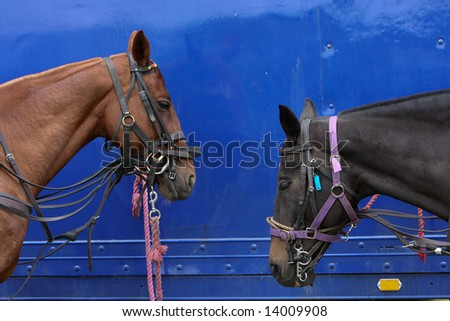 Two Polo Ponies resting after a match - stock photo