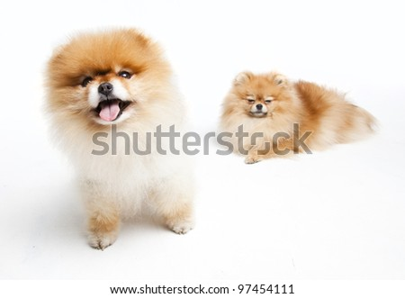 Two Pomeranian in a Studio