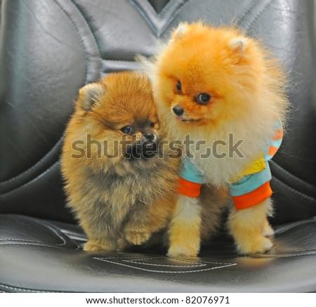 Two Pomeranian puppies - stock photo