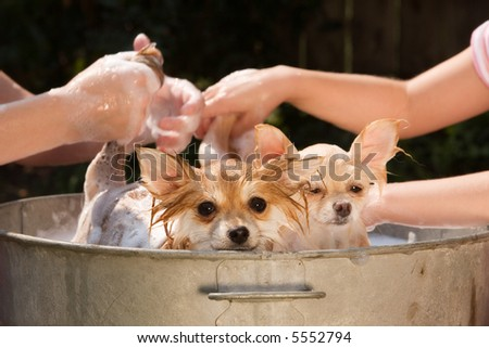 Two Pomeranian puppies being washed in an old tin tub. - stock photo