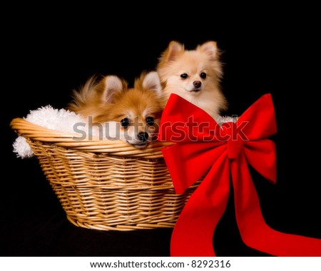 Two Pomeranian puppies in a lined wicker basket with a giant red bow.  Isolated on black.