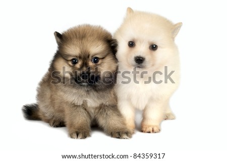 Two Pomeranian Spitz puppy  on a white background - stock photo