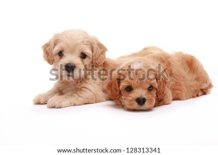 Two Poodle Puppies - stock photo