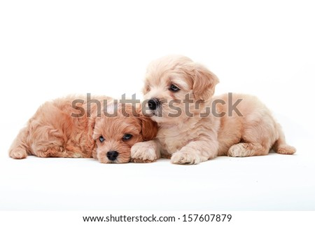 Two Poodle Puppies lying on white background