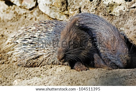 Two Porcupines - stock photo