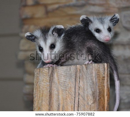 two possums on pedestal - stock photo