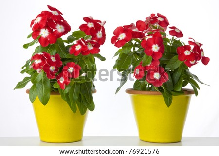 two pots of red flowers - stock photo