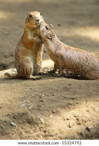 Two Prairie Dogs cuddling and kissing each other. Copy space below Prairie Dogs. - stock photo