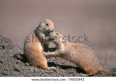 Two prairie dogs (Cynomys) grooming, Badlands National Park, South Dakota
