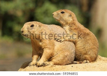 Two prairie dogs (focusing on the little one)