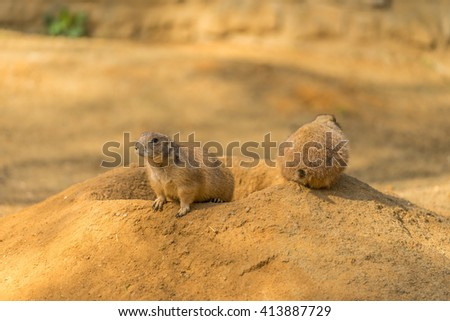 Two prairie dogs. Prairie dog doing security. Prairie dog sitting near hole in ground. Sunny day and prairie dogs.  - stock photo