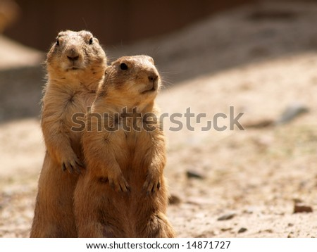 Two Prairie Dogs Standing Together - stock photo
