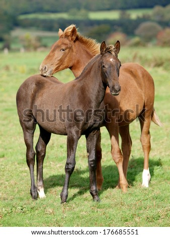 Two pretty foals stand next to each other in a paddock. - stock photo