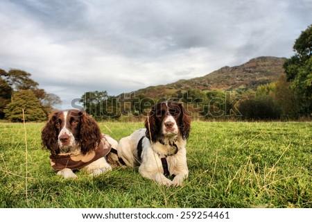 two pretty liver and white working type english springer spaniel pet gundogs - stock photo