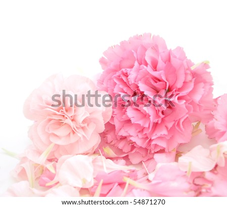 Two pretty, pink carnations are in the foreground of a white, isolated background. There are petals around them. Use the photo for a spring, marriage or valentine's theme. - stock photo
