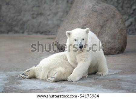 Two pretty white polar bears - stock photo
