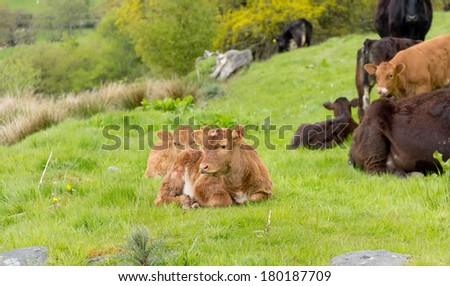 Two pretty young calves lying together in countryside on spring day. - stock photo