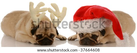 two pug dogs dressed up as santa and rudolph - stock photo