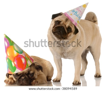 two pug dogs wearing cute birthday hats on white background