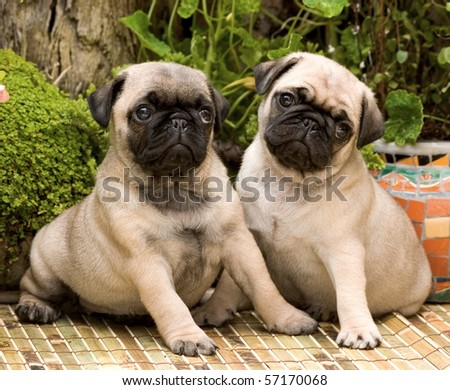Two pug puppies sitting - stock photo