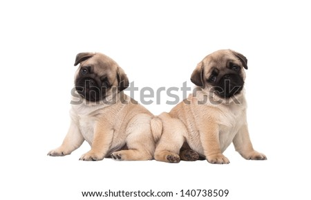 Two pug puppy isolated on white background