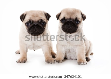 Two pug puppy sitting and looking at the camera (isolated on white)