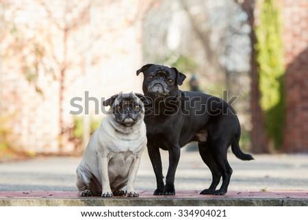 Two pugs posing outside int he fall - stock photo