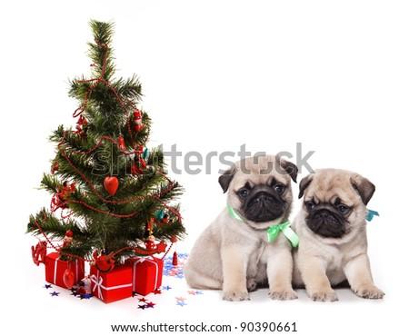 Two pugs puppy under fir - stock photo