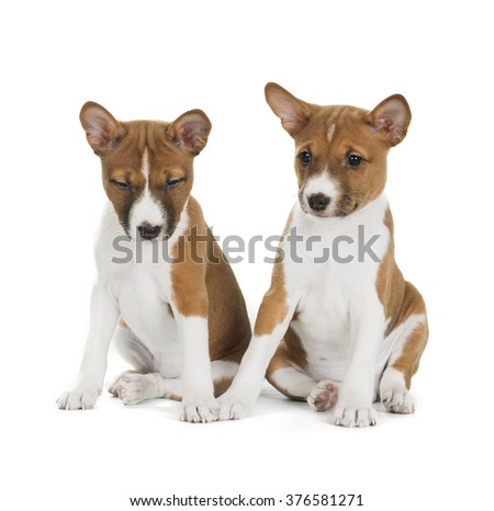 two puppies Basenji isolated on white background