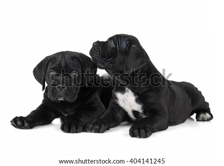 two puppies cane Corso on a white background in the Studio