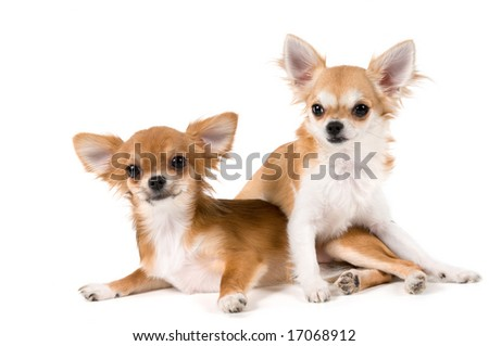 Two puppies chihuahua in studio