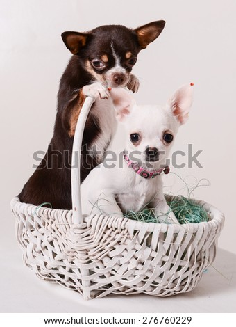 two puppies Chihuahua sitting in a white basket