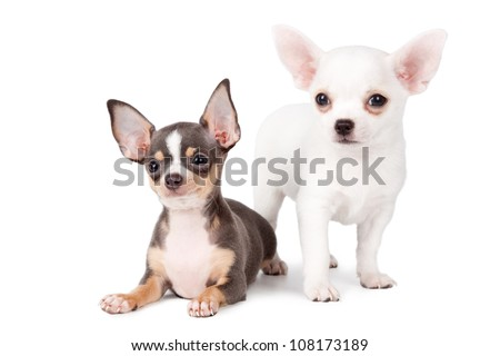 Two puppies chihuahuas on a white background. - stock photo
