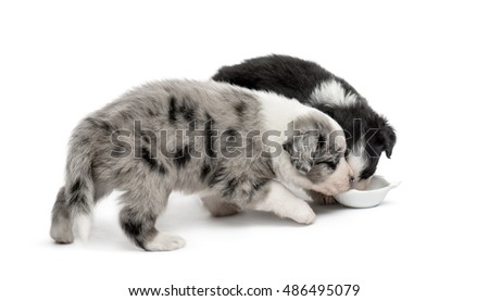 two puppies crossbreed drinking isolated on white