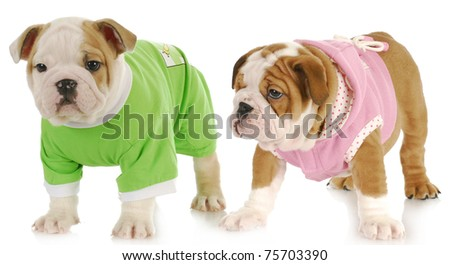 two puppies - english bulldog puppy girl and boy wearing sweaters on white background - stock photo