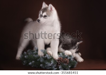 Two puppies Husky and Christmas wreath in studio